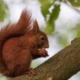 squirrel (Sciurus)
