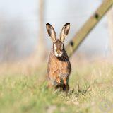 Hare (Lepus europaeus) | Feldhase