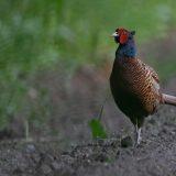 Pheasant (Phasianus colchicus) | Fasan