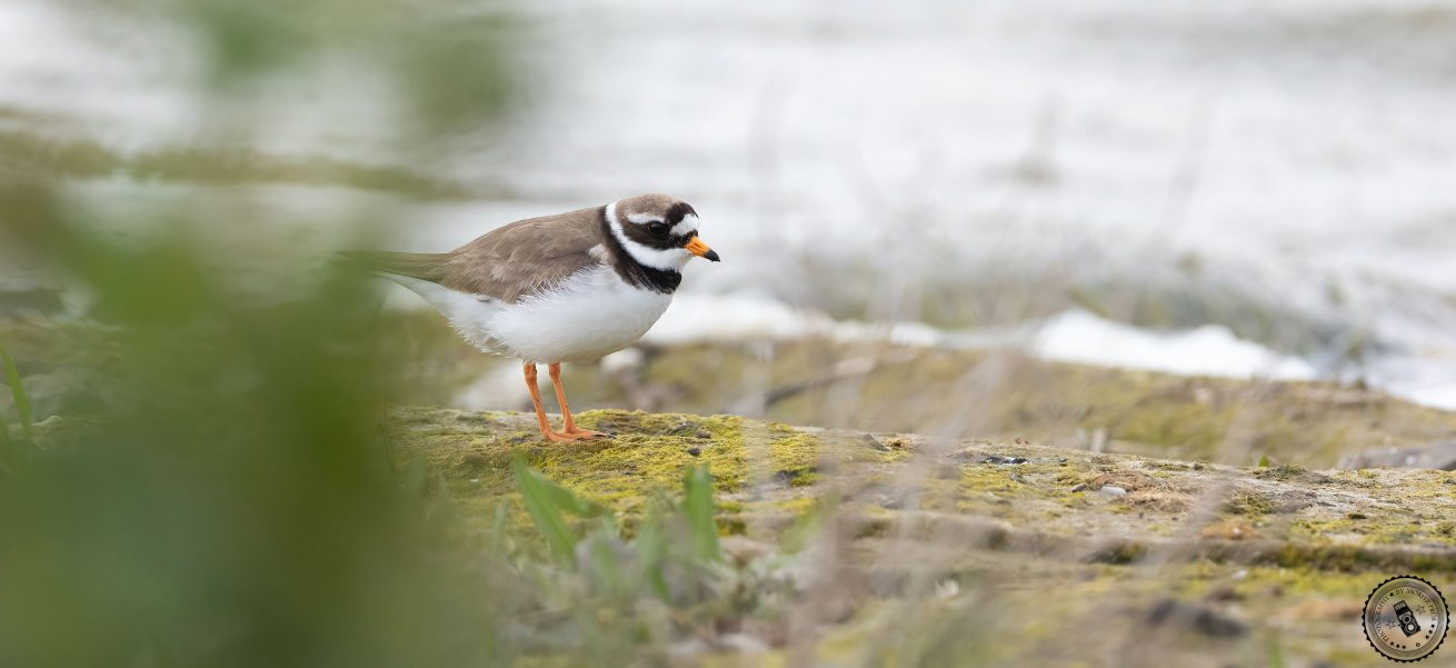 Common Ringed Plover (Charadrius hiaticula) | Sandregenpfeifer